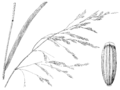 Torreyochloa pallida var pallida (as Glyceria pallida) HC-1950.png