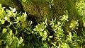 Touffes d'algues vertes filamenteuses dans Les Baillons aout2017 a 06.jpg