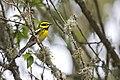 Townsend's Warbler (14070890351).jpg