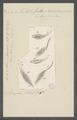 Trachelius falx - - Print - Iconographia Zoologica - Special Collections University of Amsterdam - UBAINV0274 113 11 0010.tif
