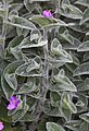 Tradescantia sillamontana, jardín botánico de Tallinn, Estonia, 2012-08-13, DD 01.JPG