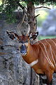 Tragelaphus eurycerus (Bongo).jpg