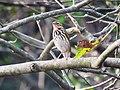 Tree Pipit IMG 4185.jpg