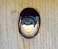 Tree swallow in a nest box in JBWR (24549).jpg