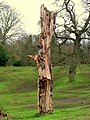 Tree trunk, near Edenderry - geograph.org.uk - 701217.jpg