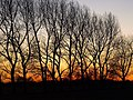 Treeline south of Hedon at Sunset - geograph.org.uk - 1075397.jpg