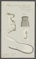 Triaenophorus nodulosus - - Print - Iconographia Zoologica - Special Collections University of Amsterdam - UBAINV0274 105 18 0008.tif