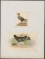 Tribonyx mortieri - 1700-1880 - Print - Iconographia Zoologica - Special Collections University of Amsterdam - UBA01 IZ17500189.tif