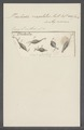 Trichoda versatilis - - Print - Iconographia Zoologica - Special Collections University of Amsterdam - UBAINV0274 113 15 0035.tif