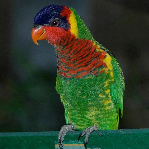 600px Trichoglossus ornatus  San Antonio Zoo 8a 2c عادات لوریکیت رنگین کمان