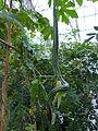 Trichosanthes cucumerina Frutigen.jpg