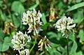 Trifolium repens (8353603484).jpg