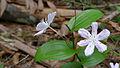 Tripladenia cunninghamii flower (15932354317).jpg