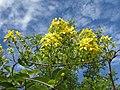 Tristellateia africana 2 (8625290906).jpg