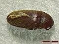 Trixagus leseigneuri (28332657097).jpg