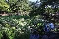 Tsuruma Park Kochogaike Lotus 20170527.jpg