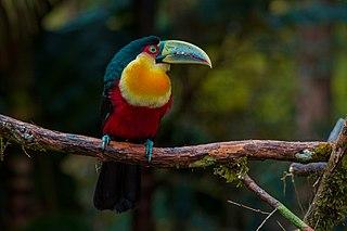 Green-billed toucan species of bird