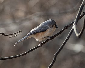 Tufted titmouse (10092).jpg