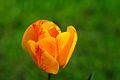 Tulip - panoramio.jpg