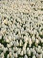 Tulip 1290291.jpg