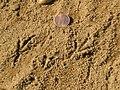 Turdus migratorius tracks.jpg