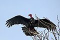 Turkey vulture Osa.JPG