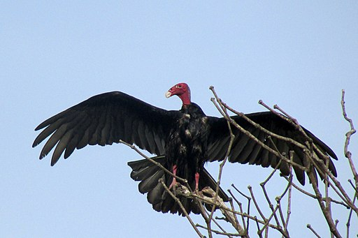 Turkey vulture Osa