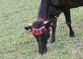 Turkish Natıve Black Cattle - Yerlikara 01.jpg