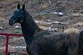 Turkmen Studfarm - Flickr - Kerri-Jo (42).jpg