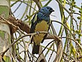 Turquoise Tanager RWD.jpg