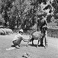 Twee herders bij een schaap dat gemolken wordt, Bestanddeelnr 255-4623.jpg