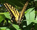 Two-tailed Swallowtail Butterfly.jpg