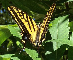 Papilio multicaudata - In Boulder, Colorado, United States