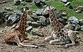 Two young giraffes (4760164803).jpg
