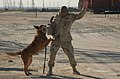 US Navy 030302-N-5362A-015 Argo, a U.S. Navy police dog, apprehends a role player acting as a suspect during a practice exercise.jpg