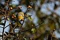 Uday Kiran Yellow Footed Green Pigeon.jpg