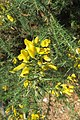 Ulex europaeus - common gorse - at Ooty 2014 (8).jpg