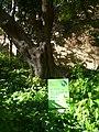 Ullastre del Parc Güell P1500843.jpg
