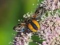 Unidentified Diptera - Galicia - 02.jpg