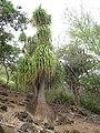 Unidentified specimens - Koko Crater Botanical Garden - IMG 2180.JPG