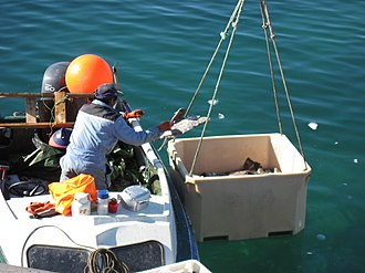 Fishing industry in Greenland - Long-line fisher in Aappilattoq, Qaasuitsup unloading his catch of halibut.