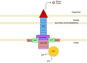 Type VI secretion system - Structure of a Type VI Secretion System