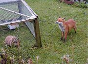 An urban fox investigating a pet rabbit in a garden in Birmingham, UK