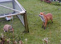 An urban fox investigating a domestic pet in a garden in Birmingham, UK