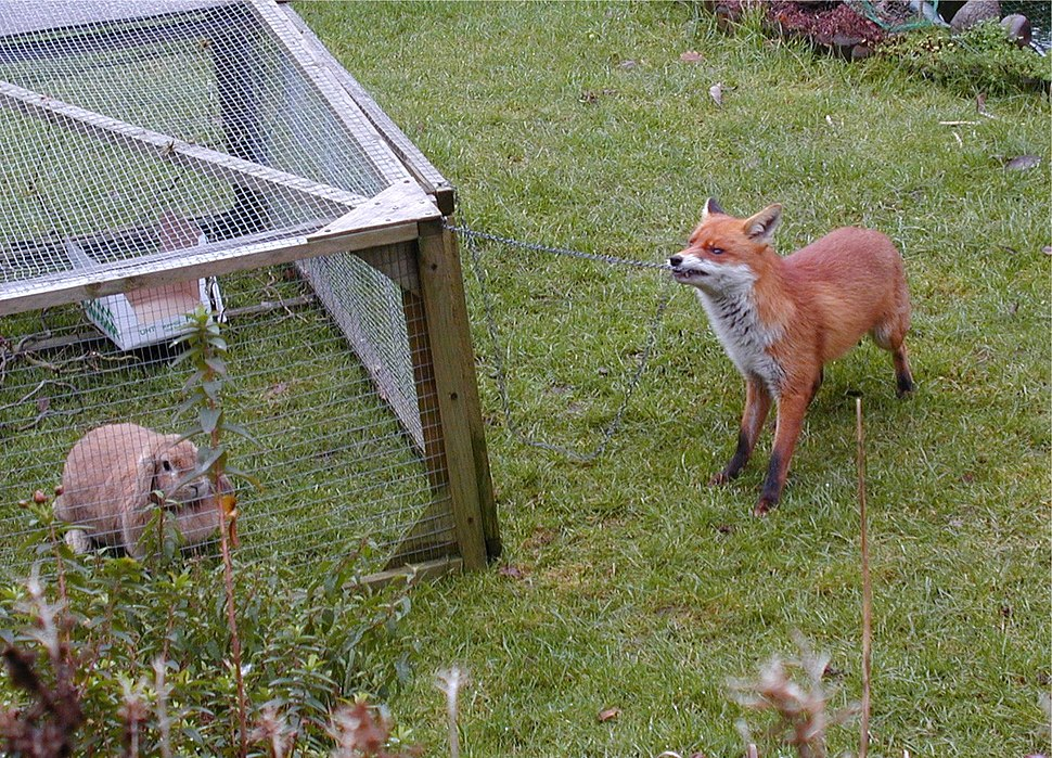 Urban fox and rabbit