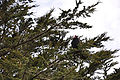 Urubu à tête rouge (Cathartes aura) Îles Malouines.jpg