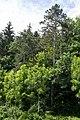 VÖ 33 Kiefern CF9A6240.jpg