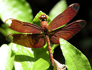 Fulvous - Fulvous forest skimmer – a dragonfly found in India