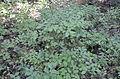 Vaccinium myrtillus in Karelia.JPG