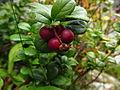 Vaccinium vitis idaea Stara planina 3.JPG
